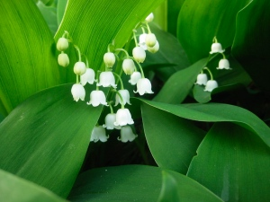 lily-of-valley