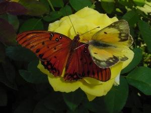 yellow rose envy