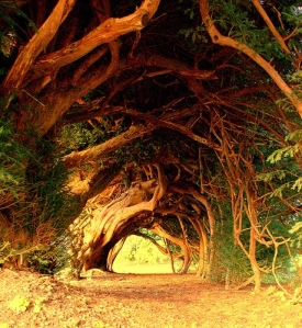 yew tree 1000 yrs old