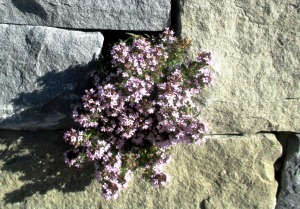 wall-flowers-331336_1280